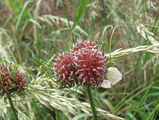 Ail des vignes (Allium vineale).JPG