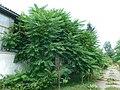 Ailanthus altissima - kiselo drvo u dvorištu napuštene fabrike.jpg