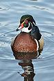 Aix sponsa (Wood Duck - Brautente) - Weltvogelpark Walsrode 2012-08.jpg