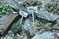 Aizoaceae Gibbaeum Dispar.JPG