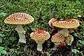 Alaska-mushroom Amanita-muscaria-a.jpg
