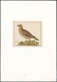 Alauda cristata - 1753-1834 - Print - Iconographia Zoologica - Special Collections University of Amsterdam - UBA01 IZA10000258.tif