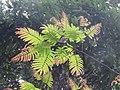 Albizia chinensis - Chinese Albizia young leaves at Periya 2018 (1).jpg