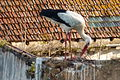Algarve - Silves - stork attempting to build a nest (25198872774).jpg
