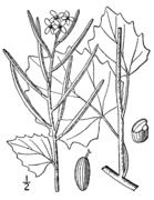 Alliaria petiolata drawing.png