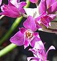 Allium crispum 3.jpg