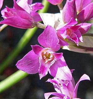 Allium crispum - Image: Allium crispum 3