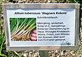 Allium tuberosum Wagner Kobold.jpg