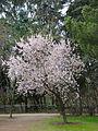Almendro en flor (2).jpg