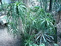 Aloe arborescens 02 by Line1.JPG