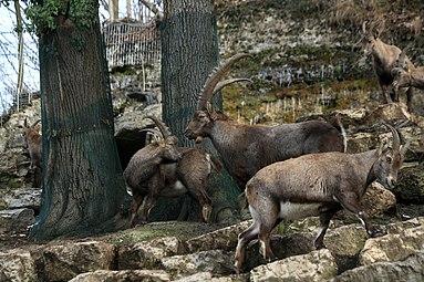 Alpensteinbock (Capra ibex) Zoo Salzburg 2014 a.jpg