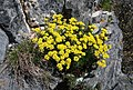 Alyssum obovatum 38030702.jpg
