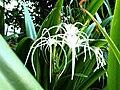 Amaryllidaceae family.jpg