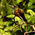 Amazilia amazilia Parc des Oiseaux 21 10 2015 3.jpg