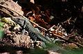 Ameiva fuscata at Roseau-a02.jpg