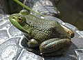 American Bullfrog Rana catesbeiana Side 1800px.jpg