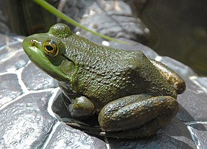 American Bullfrog Rana catesbeiana Side 1800px