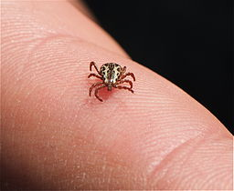 https://upload.wikimedia.org/wikipedia/commons/thumb/8/8a/American_Dog_Tick_%28Dermacentor_variabilis%29.jpg/256px-American_Dog_Tick_%28Dermacentor_variabilis%29.jpg