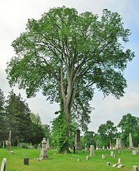 American Elm Tree at Spring Grove Cemetery, Hartford, CT - May 26, 2012.JPG