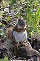 American Red Squirrel (Tamiasciurus hudsonicus) - Guelph, Ontario 01.jpg