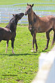 American Shetland Gelding playing with Kuma the Akhal Teke (6929067618).jpg