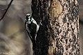 American Three-toed Woodpecker Signal Burn Gila NF NM 2017-10-18 09-02-55 (27296380379).jpg