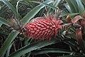 Ananas comosus kz02.jpg