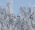 Anas platyrhynchos Oulu 20120401.JPG