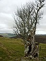 Ancient rowan tree at site of old croft on ridge above Divach - geograph.org.uk - 1220522.jpg