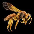 Andrena oman, f, oman, side 2014-10-11-16.25.26 ZS PMax (15097864974).jpg