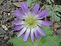 Anemone blanda (Ranunculaceae) flower.jpg