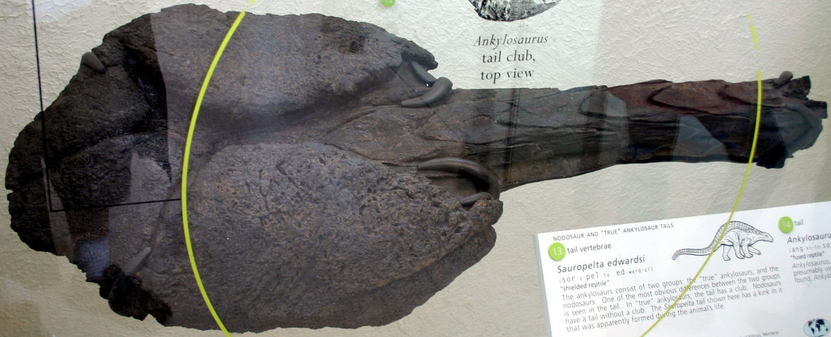 Fossilized tail club, black in coloring
