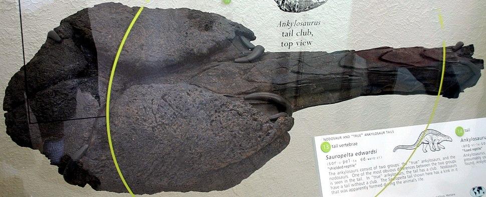 Ankylosaurus tail club