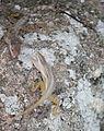 Anolis oculatus at Coulibistrie-c02.jpg