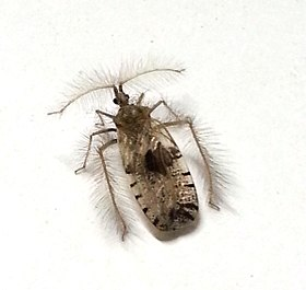 Ant wolf or feather-legged bug Genus Holoptilus 20140925 172336.jpg