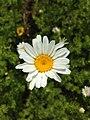 Anthemis cotula inflorescence (03).jpg