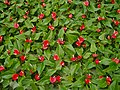 Anthurium Wallpaper - panoramio.jpg