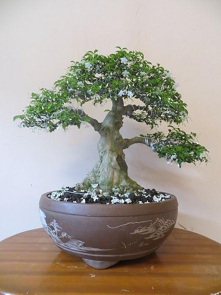 Konáre bonsajov sa tvarujú aj drôtikmi