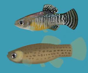 Spanish toothcarp - Male toothcarp (top) and female toothcarp (bottom)