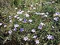 Aphyllanthes monspeliensis 2 (Espagne).JPG