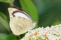 Appias indra aristoxemus 20140705.jpg