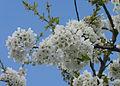 Apple tree flowers J2.JPG