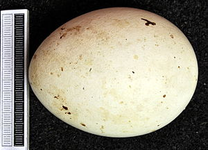 Eastern imperial eagle - Egg, Collection Museum Wiesbaden