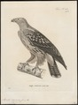 Aquila naevioides - 1700-1880 - Print - Iconographia Zoologica - Special Collections University of Amsterdam - UBA01 IZ18100189.tif