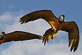 Ara arara -Diergaarde Blijdorp -two flying-8a.jpg