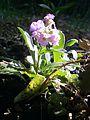 Arabis blepharophylla RHu 02.JPG