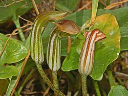 Araceae - Arisarum vulgare-1.JPG