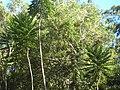 Araliaceae Polyscias murrayi IMG 6893 (3478700753).jpg