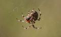 Araneus diadematus i nät.png