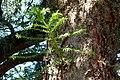 Araucaria australiana (Araucaria bidwillii) - Flickr - Alejandro Bayer (2).jpg